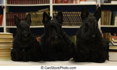 three dogs in the library Scottish terriers