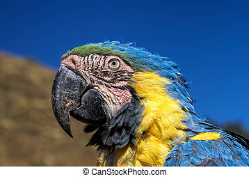 Ara - Head of beautiful Ara parrot with colorful blue and...