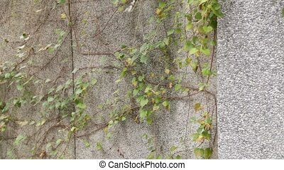 A creeper vine on a wall with some dangling vines blowing in...