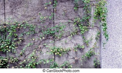A creeper vine on a wall
