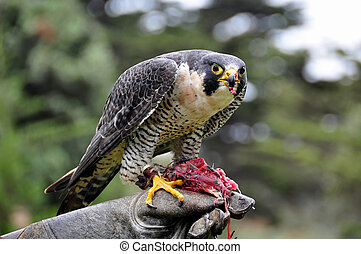 Peregrine Falcon eating while perched on gloved hand of zoo...