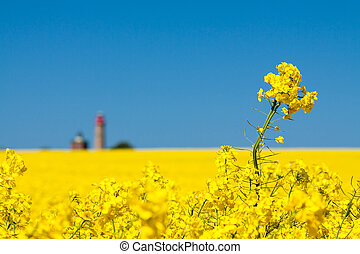 Canola and lighthouse - Canola field and lighthouse on the...