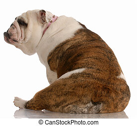 english bulldog sitting with backside to the camera