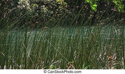 Green grass Krka river - Green grass swaying in the wind...
