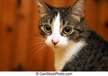 Attentive Housecat - A housecat looks alert and focused in...
