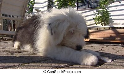 Old English Sheepdog chewing on a bone