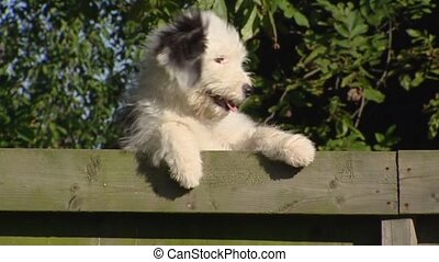 Old English Sheepdog looking over fence