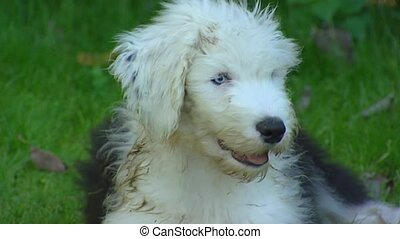 Old English Sheepdog juvenile on lawn
