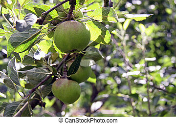 Apple orchard trees - Rural green apple orchard trees...