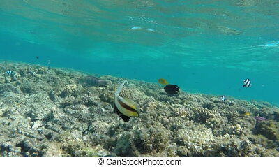 Pennant coralfish or bannerfish in the Red Sea - Egypt -...