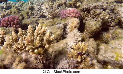 little brown reef fish among the seaweed on the corals of...
