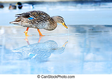 wild duck winter - wild duck on ice in frozen lake in cold...