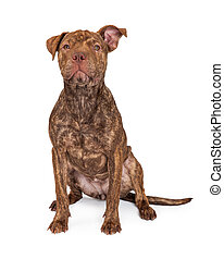 Brindle Pit Bull Cross Sitting