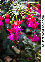 Fuchsia, Purple Pink-Red