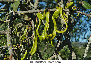 Carob tree with fruits hanging on branches. Ceratonia...