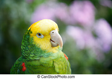 Yellow Capped Amazon - A close up of a yellow capped Amazon...