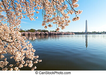 A peak of cherry blossom around the Tidal Basin in...