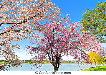 Peak of cherry blossom in Washington, DC. Colorful cherry...