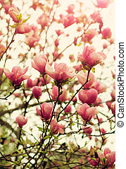 Magnolia tree blossom - Blooming magnolia tree in springtime...