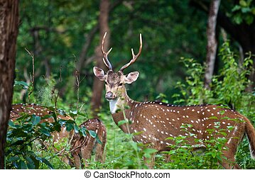 Wild deer (sambar or axis axis) in Mudumalai National Park,...