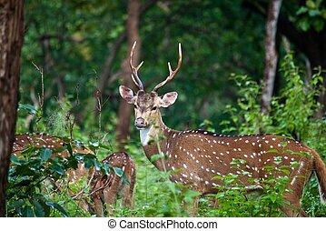 Wild deer (sambar or axis axis) in Mudumalai National Park,...