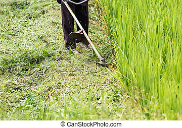 Mowers engine - Worker cutting grass in rice field with the...