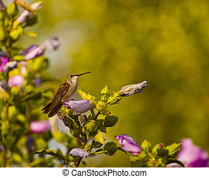hummingbird - Female hummingbird perched on hollyhock