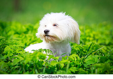 small dog - White Maltese dog