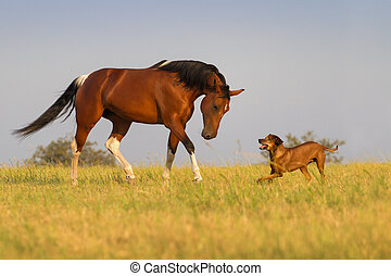 Dog and horse - Red horse run with dog in the field