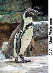 Humboldt penguin or Peruvian penguin Spheniscus Humboldti in...
