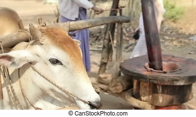 Cow mill - Cow rotating a primitive mill for squeezing palm...