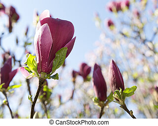 Magnolia - Beautiful magnolia flowers on the tree