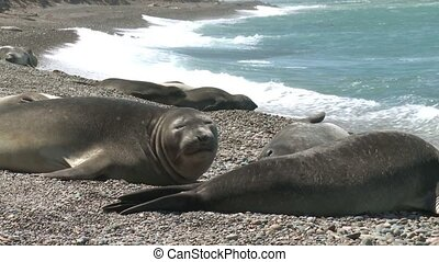 Colony of Argentinean fur seals - Seal rookery lying on the...