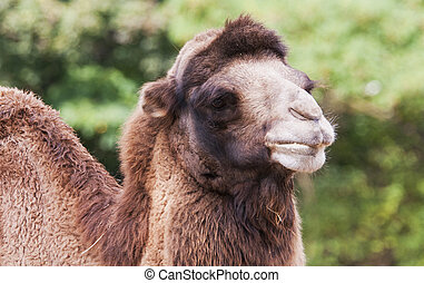 Bactrian camel - A closeup of the head of a bactrian camel