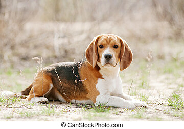 Funny beagle dog - Funny young beagle dog lying in spring