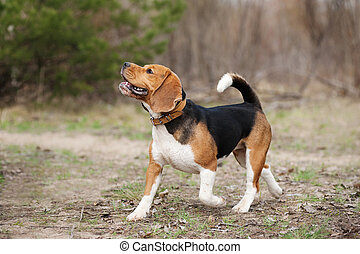 funny beagle dog running - Funny young beagle dog running in...