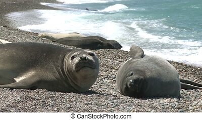 Argentinean fur seals lying on the coastline of Atlantic...