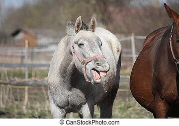 Funny gray horse yawning - Funny young gray horse yawning