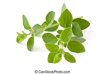 Fresh oregano. - Twigs of oregano. Isolated on white...