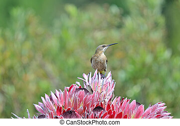 Cape sugarbird on protea flowers, Sir Lowreys Pass, Cape...