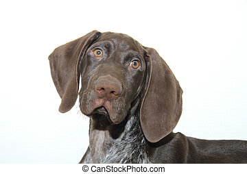 German Shorthaired Pointer puppy - German shorthaired...