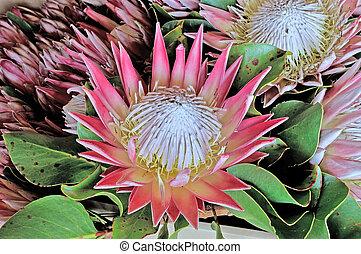King Protea - Protea cynaroides, the king protea, giant...