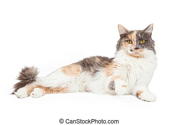 Calico Cat Lifting Paw Up - An active Calico Domestic...