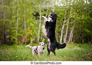 Old dog border collie and puppy playing