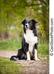 Young black and white border collie dog portrait in summer