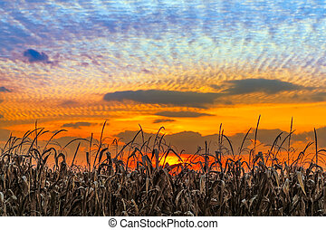 Indiana Sundown - Autumn cornstalks are backed by a vibrant...