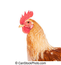 Rooster isolated on white background - Beautiful red rooster...