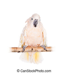 The salmon-crested cockatoo on white - The salmon-crested...
