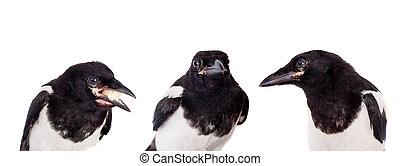 Common Magpie isolated on white - Common Magpie, Pica pica,...
