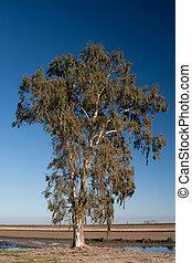 grande, eucalipto